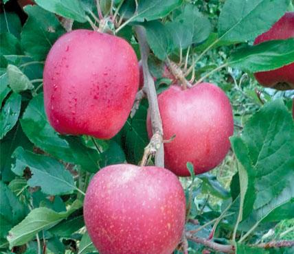 Яблоня, характеристика подвоев