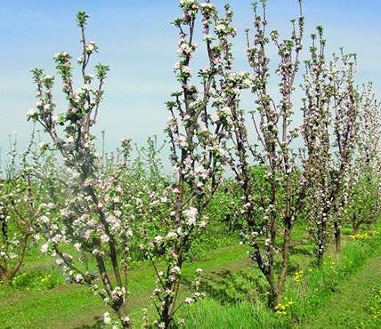 Система внесения удобрений для повышения продуктивности яблони